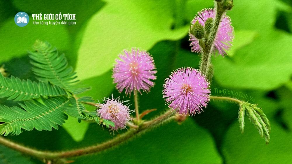Sự tích cây hoa trinh nữ