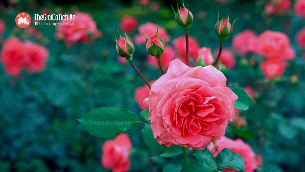 Truyện sự tích hoa hồng