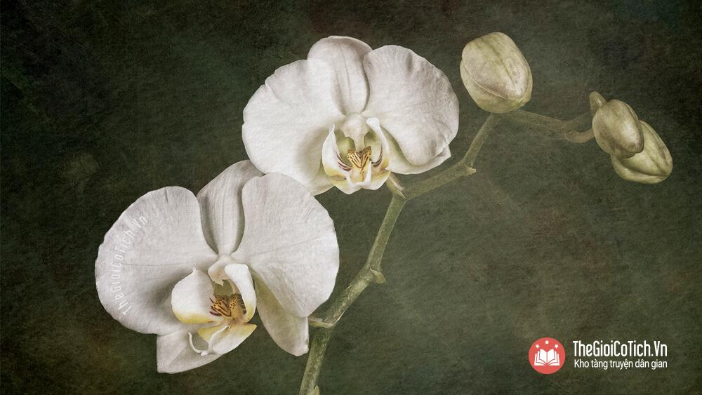 Truyện Sự tích hoa Phong Lan