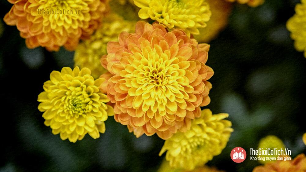 Bài thơ Hoa cúc vàng